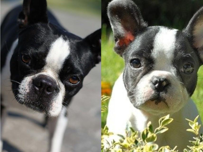 boston terrier vs bulldog francés