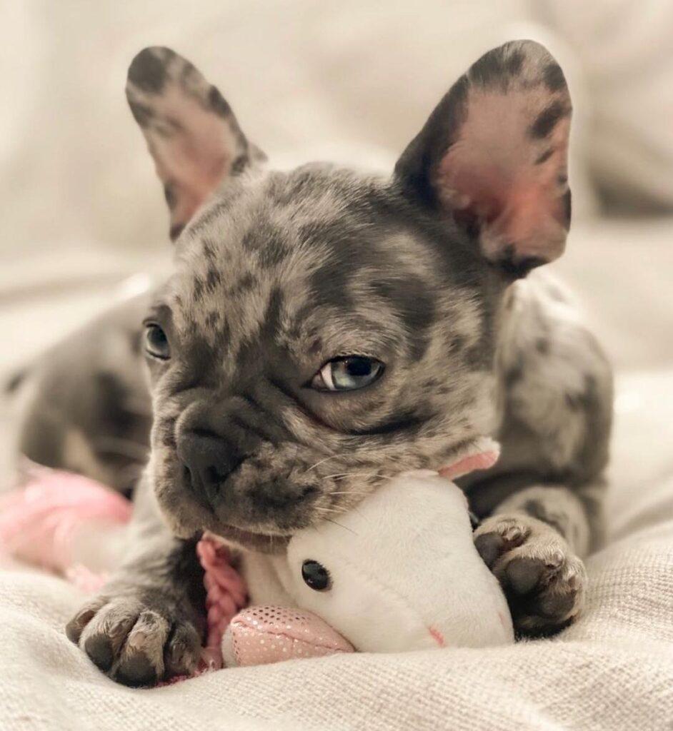 frenchie bulldog francés blue merle