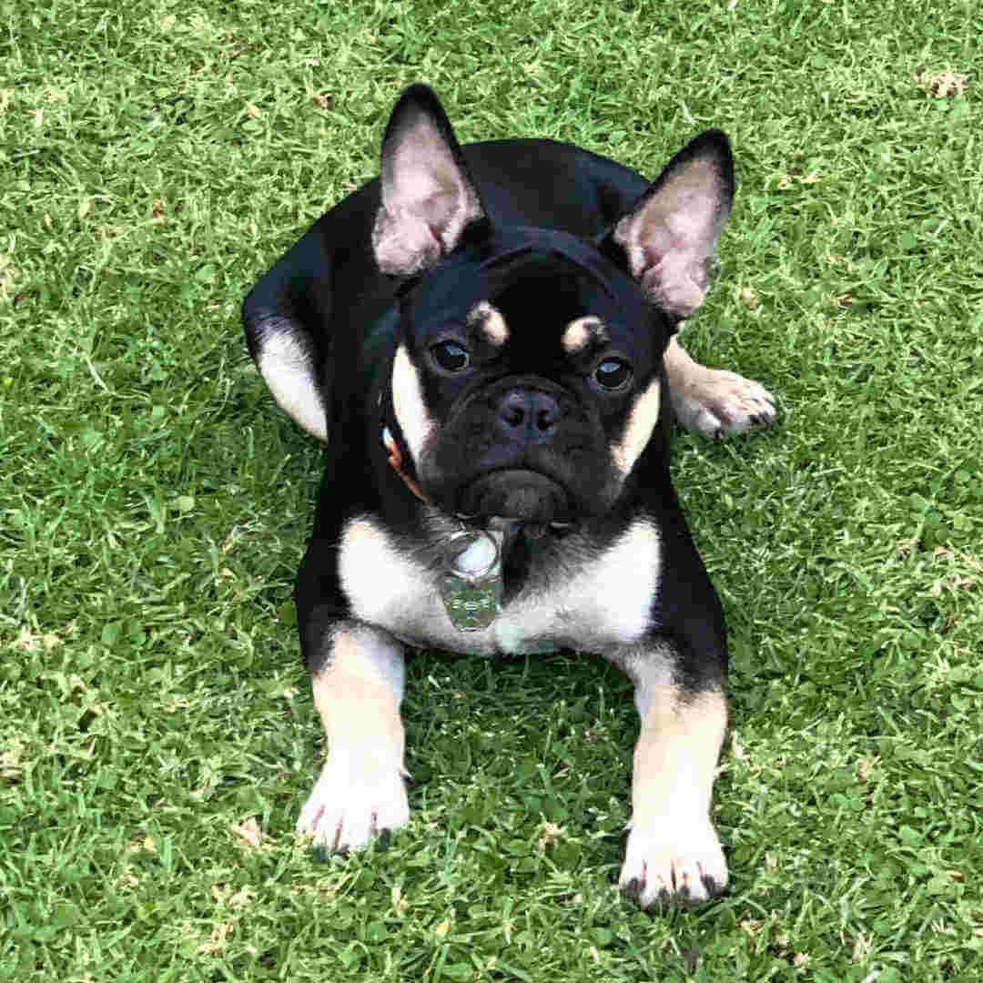bulldog black and tan