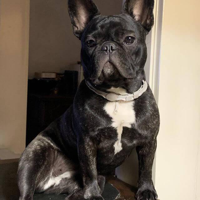 bulldog francés atigrado adulto