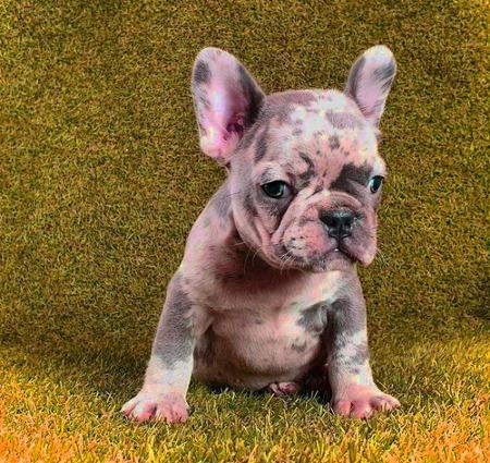 bulldog frances blue merle