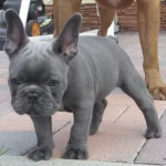 bulldog frances blue precio