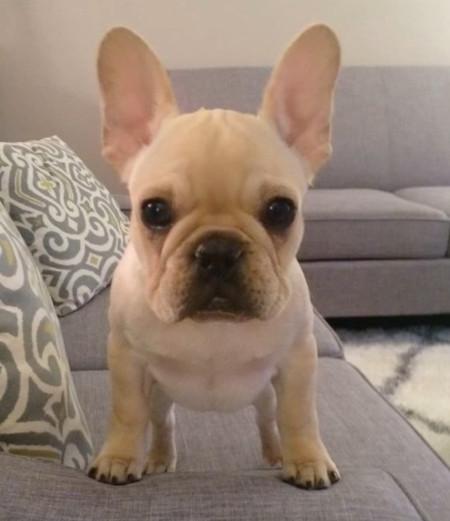 bulldog francés crema fawn