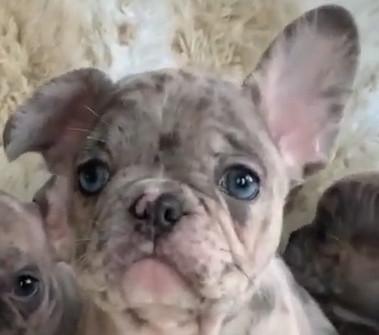 bulldog francés merle ojos azules