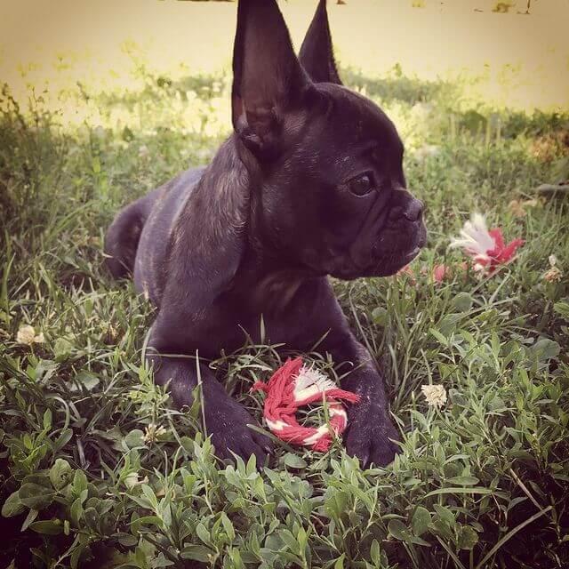 bulldog francés negro atigrado