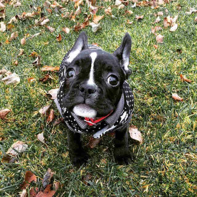 Bulldog Francés Negro con Blanco