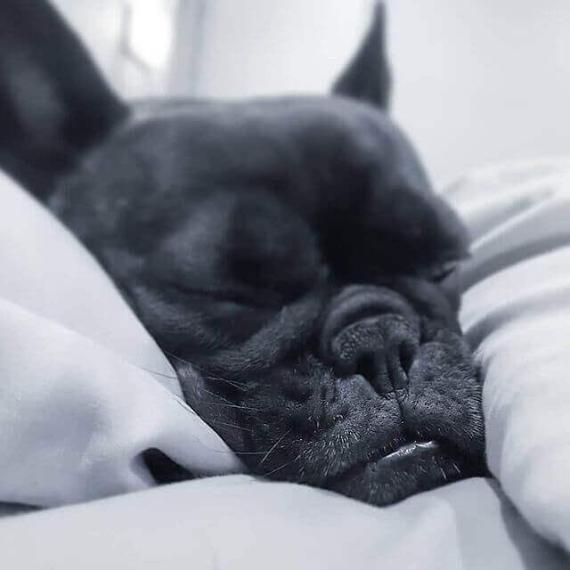 bulldog francés negro precio
