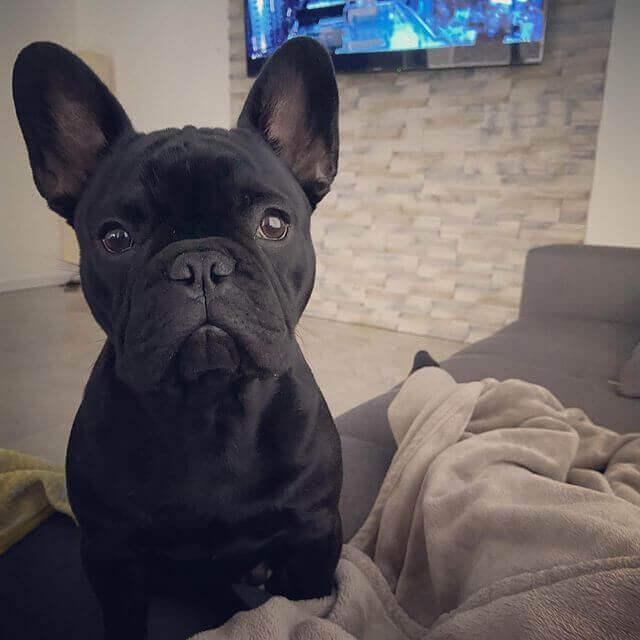 bulldog francés negro sólido