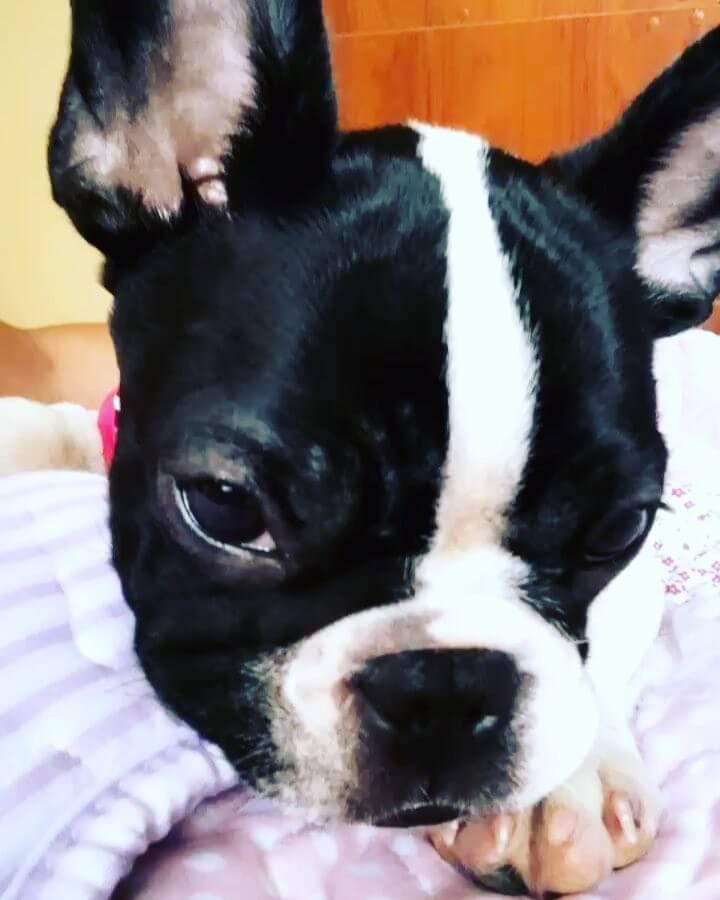Cachorro Bulldog Francés Negro y Blanco