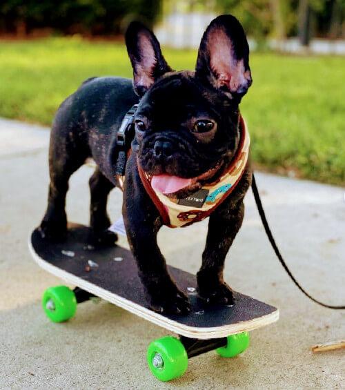 colores bulldog francés