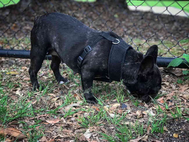 Hermosa Bulldog Francés Negro Atigrado Hembra