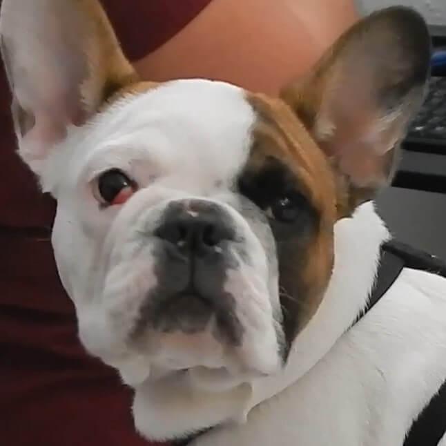 ojo de cereza en bulldog francés
