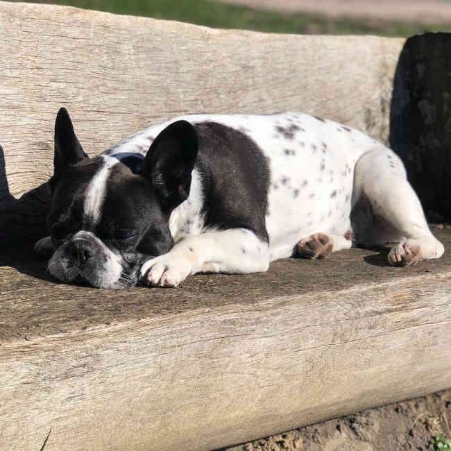 bulldog frances blanco y negro
